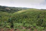 Young teak plantation