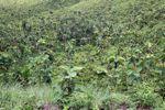 Young teak plantation [panama_0690]
