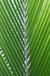 Palm frond illuminated in the sunlight