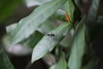 Red-eyed wasp [panama_0709]
