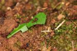 Leaf-cutter ants carrying leaves, with a tiny ant riding the leaves