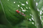 Orange and green grasshopper [panama_0732]