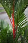 Red wax palm
