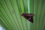 Skipper butterfly [panama_0752]