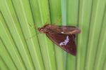 Skipper butterfly [panama_0754]
