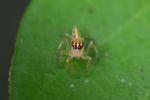 Jumping spider [panama_0758]