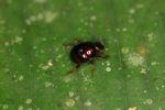 Dung beetle [panama_0761]