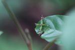 Grasshopper [panama_0767]