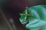Grasshopper [panama_0768]