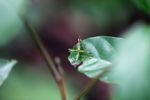Grasshopper [panama_0769]