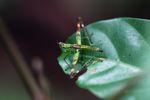 Grasshopper [panama_0770]