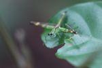 Grasshopper [panama_0771]