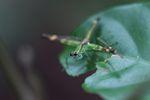 Grasshopper [panama_0772]