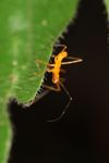 Orange assassin bug [panama_0780]