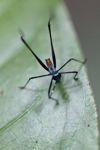Blue and black katydid [panama_0787]