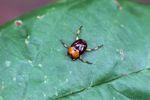 Orange and brown dung beetle