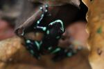 Green and Black Poison Dart Frog (Dendrobates auratus) [panama_0794]