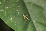 Grasshopper [panama_0833]
