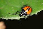 Orange and black bug