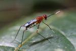 Wasp [panama_0853]