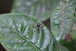 Jumping spider [panama_0867]