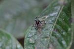 Jumping spider [panama_0868]