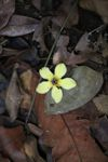 Yellow flower on the forest floor