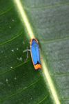 Blue and orange planthopper [panama_0877]