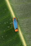 Blue and orange planthopper [panama_0878]