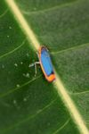 Blue and orange planthopper [panama_0883]