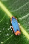 Blue and orange planthopper [panama_0884]