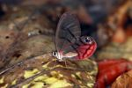 Blushing Phantom (Cithaerias pireta), a clear-winged butterfly species