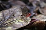 Blushing Phantom butterfly (Cithaerias pireta) [panama_0902]
