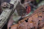 Blushing Phantom butterfly (Cithaerias pireta) [panama_0907]