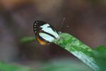 Butterfly [panama_0915]
