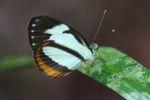 Butterfly [panama_0916]