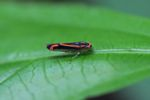 Neon orange and black insect
