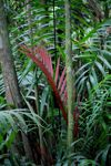 Red palm leaf