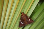 Skipper butterfly [panama_0943]