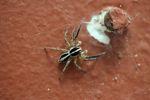 Black and white spider [panama_0947]