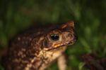 Giant cane toad [panama_0951]