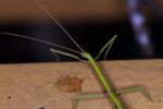 Green stick insect [panama_0961]