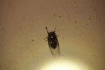 Cicada [panama_0969]