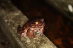Giant Smokey Jungle Frog (Leptodactylus savagei) [panama_0975]