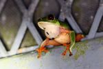 Red-eyed tree frog sitting on a greenhouse wall in Panama [panama_0991]