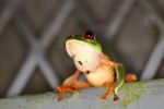 Red-eyed tree frog sitting on a greenhouse wall in Panama [panama_0993]
