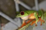 Red-eyed tree frog on BCI