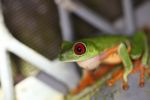 Red-eyed tree frog on BCI [panama_1003]