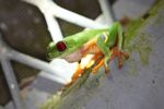 Red-eyed tree frog on BCI [panama_1007]
