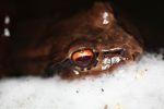 Giant Smokey Jungle Frog (Leptodactylus savagei)
